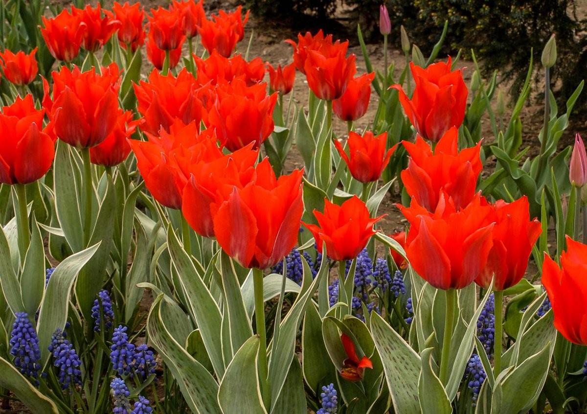 В Москве расцвели тюльпаны